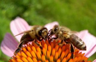 Artenvielfalt: Hier Bienen auf Blüte