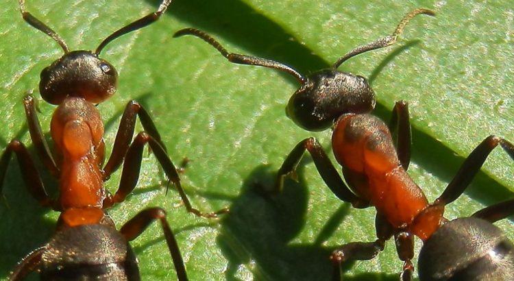 Artenvielfalt: Hier Ameisen auf Blatt